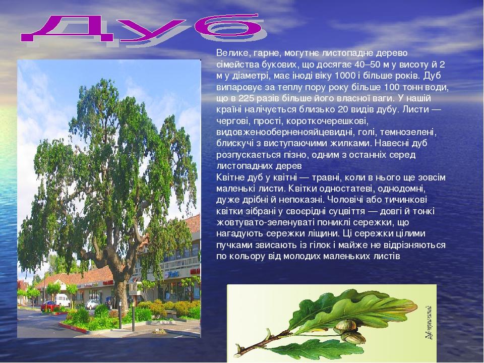 Велике, гарне, могутнє листопадне дерево сімейства букових, що досягає 40–50 м у висоту й 2 м у діаметрі, має іноді віку 1000 і більше років. Дуб в...
