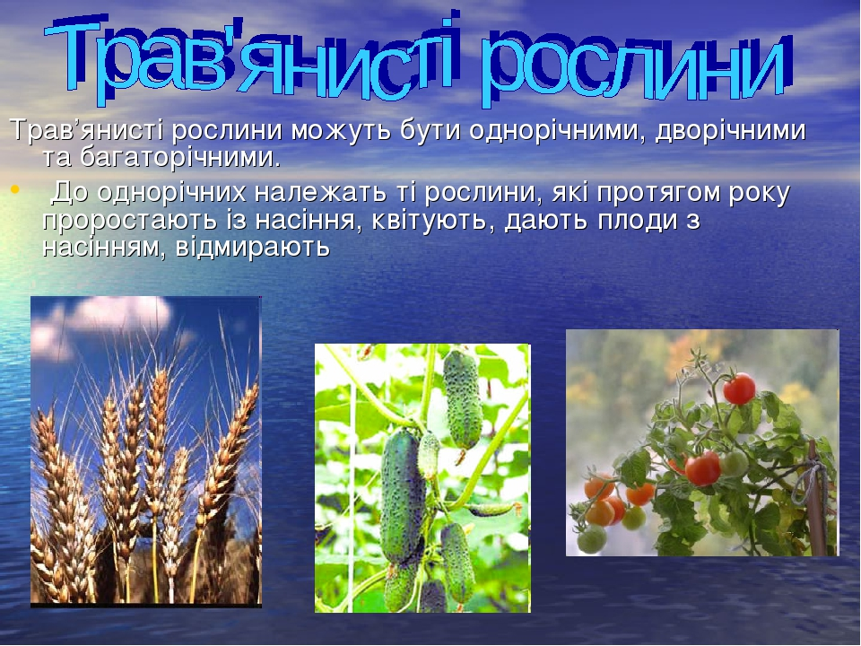 Трав'янисті рослини можуть бути однорічними, дворічними та багаторічними. До однорічних належать ті рослини, які протягом року проростають із насін...