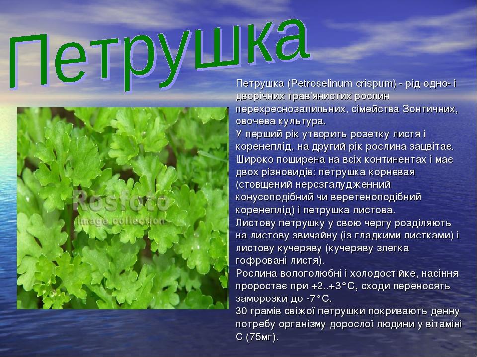 Петрушка (Petroselinum crispum) - рід одно- і дворічних трав'янистих рослин перехреснозапильних, сімейства Зонтичних, овочева культура. У перший рі...