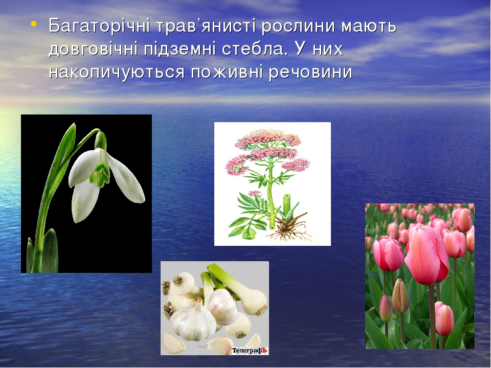 Багаторічні трав'янисті рослини мають довговічні підземні стебла. У них накопичуються поживні речовини