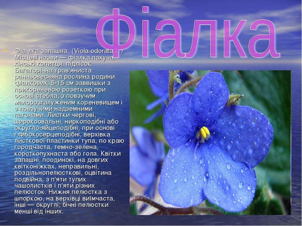 Фіа́лка запашна́ (Viola odorata L.) Місцеві назви — фіалка пахуча, кінські копитця, підлісок. Багаторічна трав'яниста ранньовесняна рослина родини ...