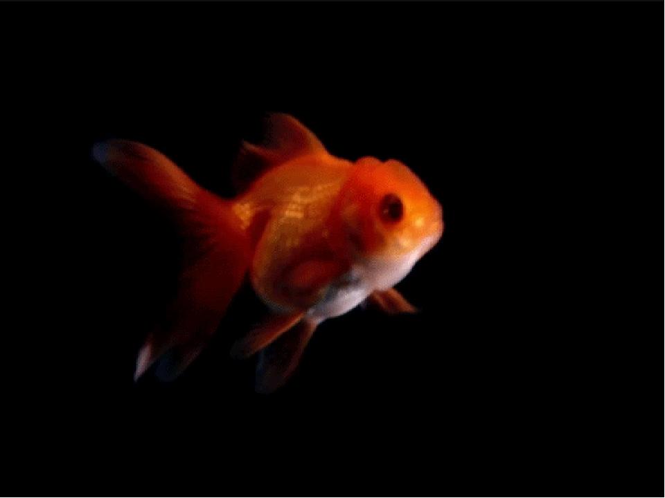 сирень гиф рыбки плавают возможность