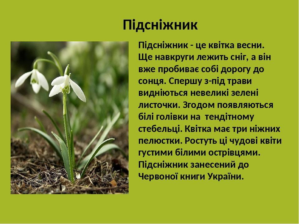 Підсніжник Підсніжник - це квітка весни. Ще навкруги лежить сніг, а він вже пробиває собі дорогу до сонця. Спершу з-під трави видніються невеликі з...