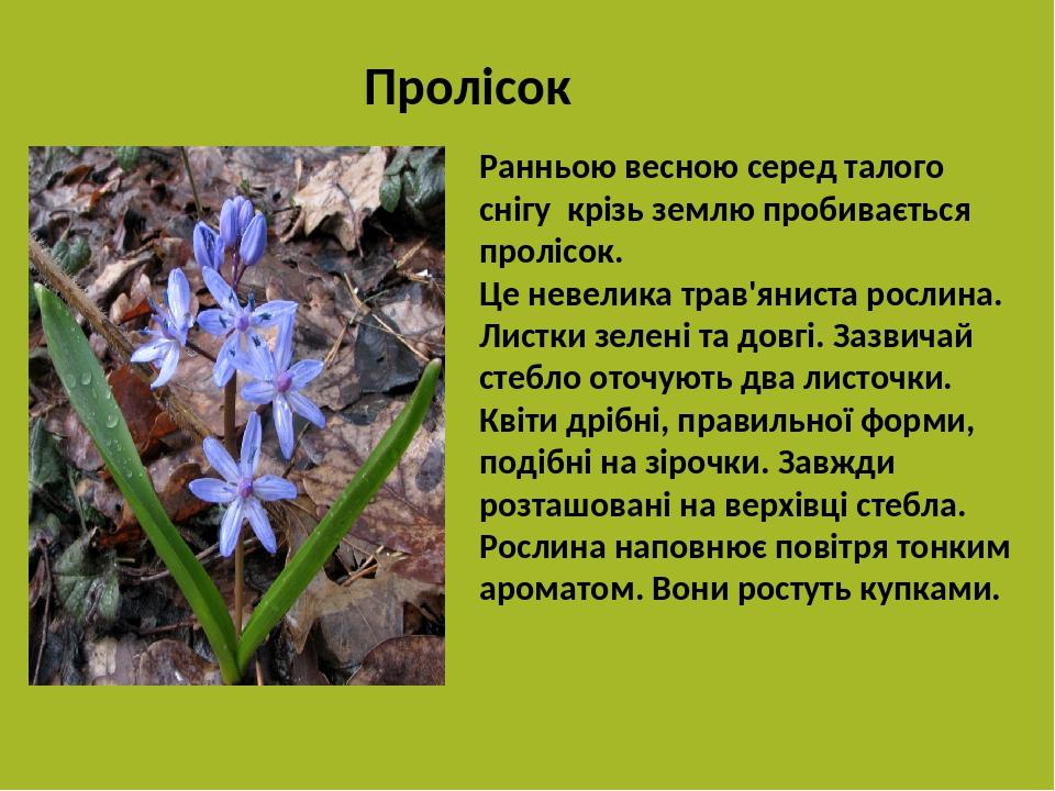 Ранньою весною серед талого снігу крізь землю пробивається пролісок. Це невелика трав'яниста рослина. Листки зелені та довгі. Зазвичай стебло оточу...
