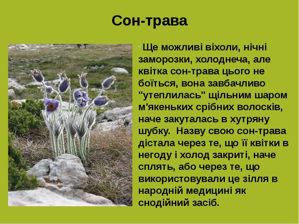 """Сон-трава Ще можливі віхоли, нічні заморозки, холоднеча, але квітка сон-трава цього не боїться, вона завбачливо """"утеплилась"""" щільним шаром м'якеньк..."""