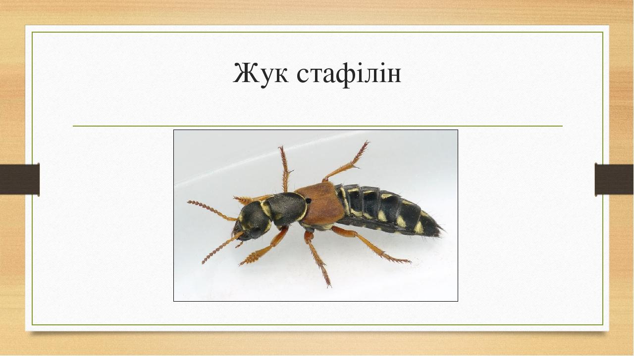 Жук стафілін