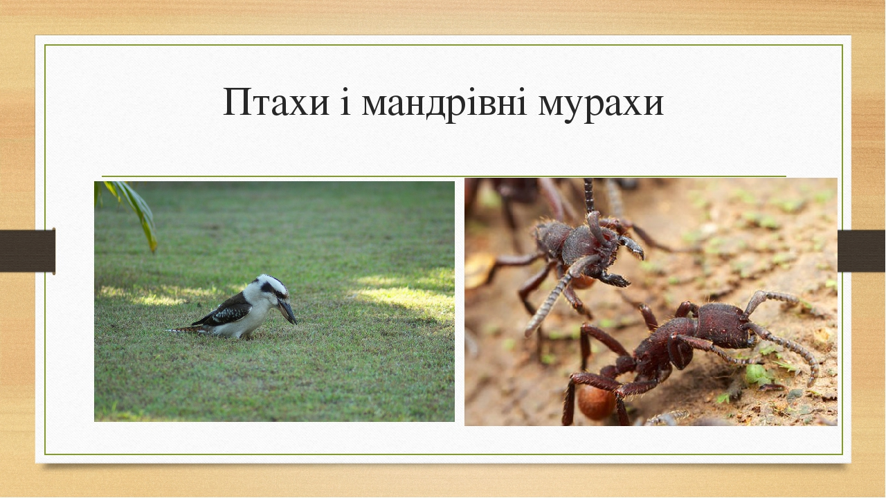 Птахиі мандрівні мурахи