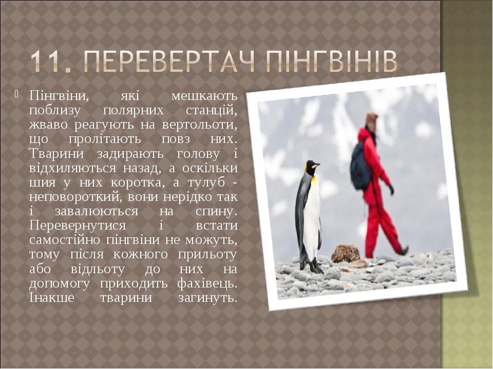 Пінгвіни, які мешкають поблизу полярних станцій, жваво реагують на вертольоти, що пролітають повз них. Тварини задирають голову і відхиляються наза...