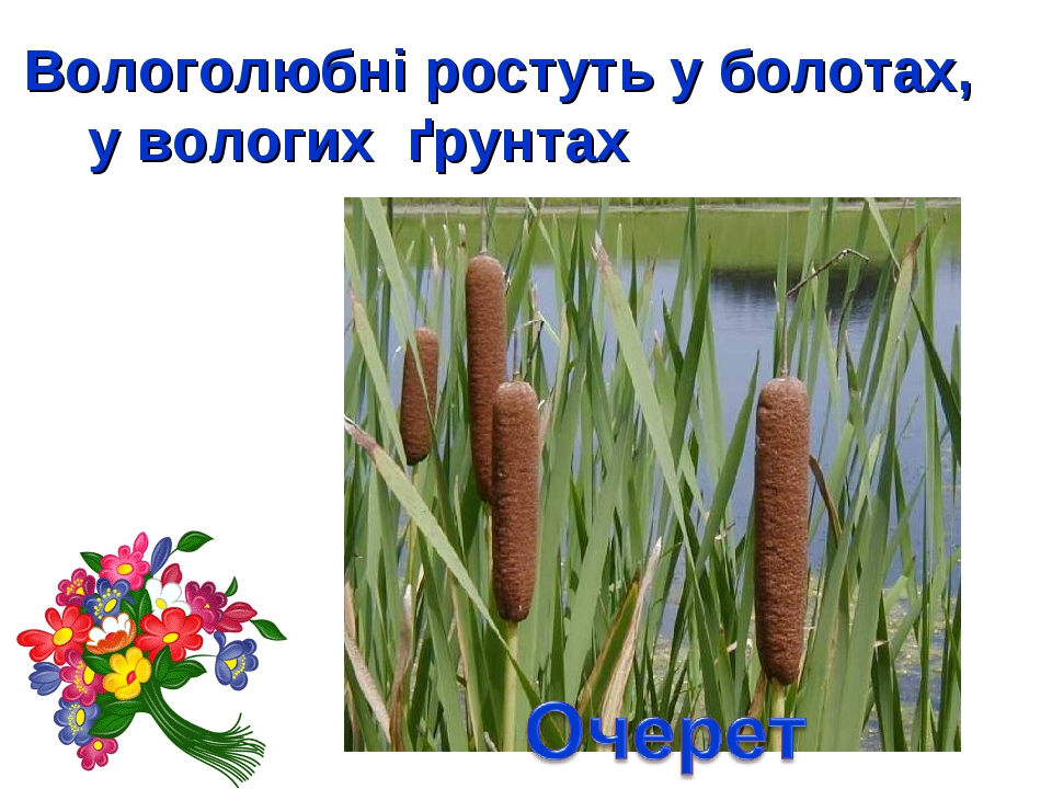 Вологолюбні ростуть у болотах, у вологих ґрунтах