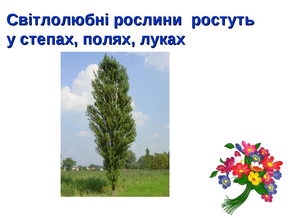 Світлолюбні рослини ростуть у степах, полях, луках