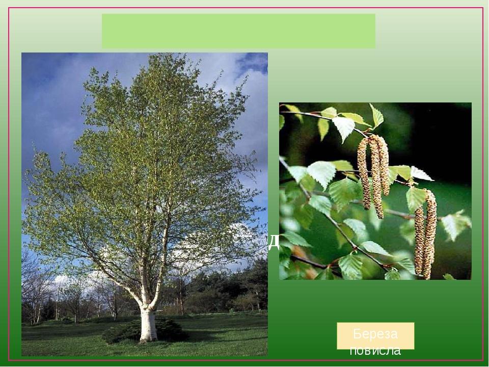 Приклади дерев Береза повисла