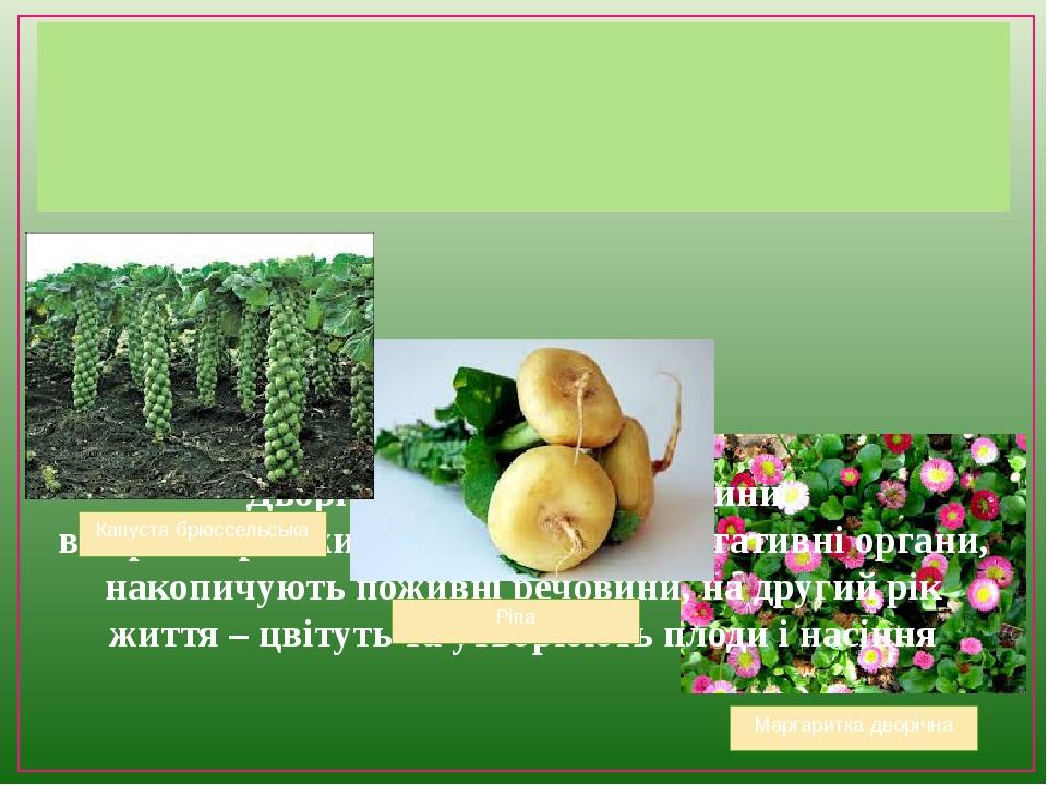 Дворічні трав'янисті рослини в перший рік життя утворюють вегетативні органи, накопичують поживні речовини, на другий рік життя – цвітуть та утворю...