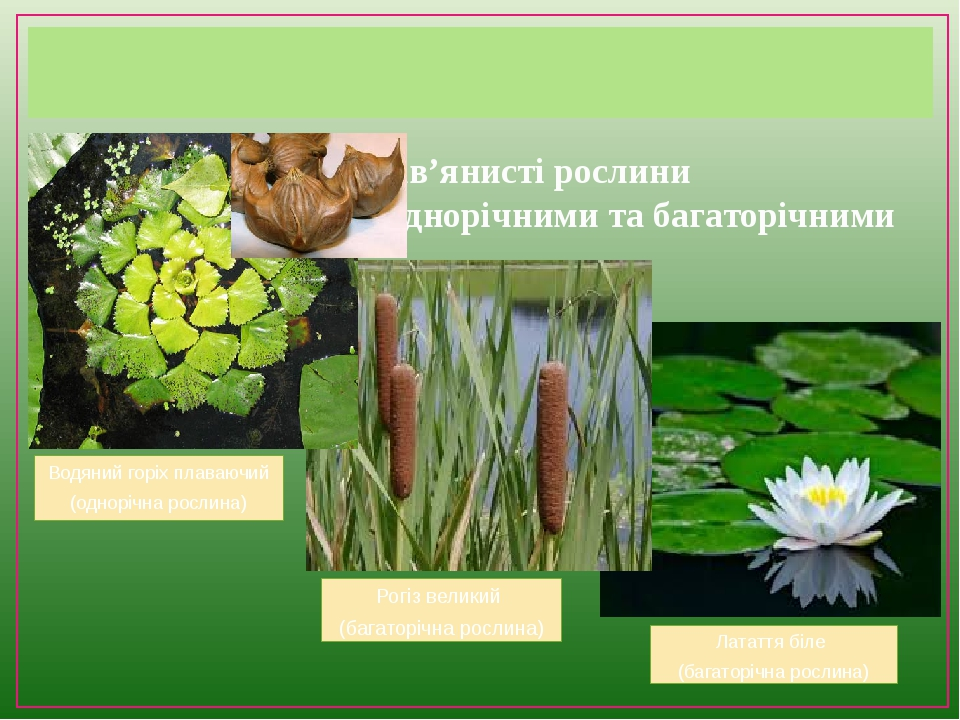 Водні трав'янисті рослини також можуть бути однорічними та багаторічними Водяний горіх плаваючий (однорічна рослина) Рогіз великий (багаторічна рос...