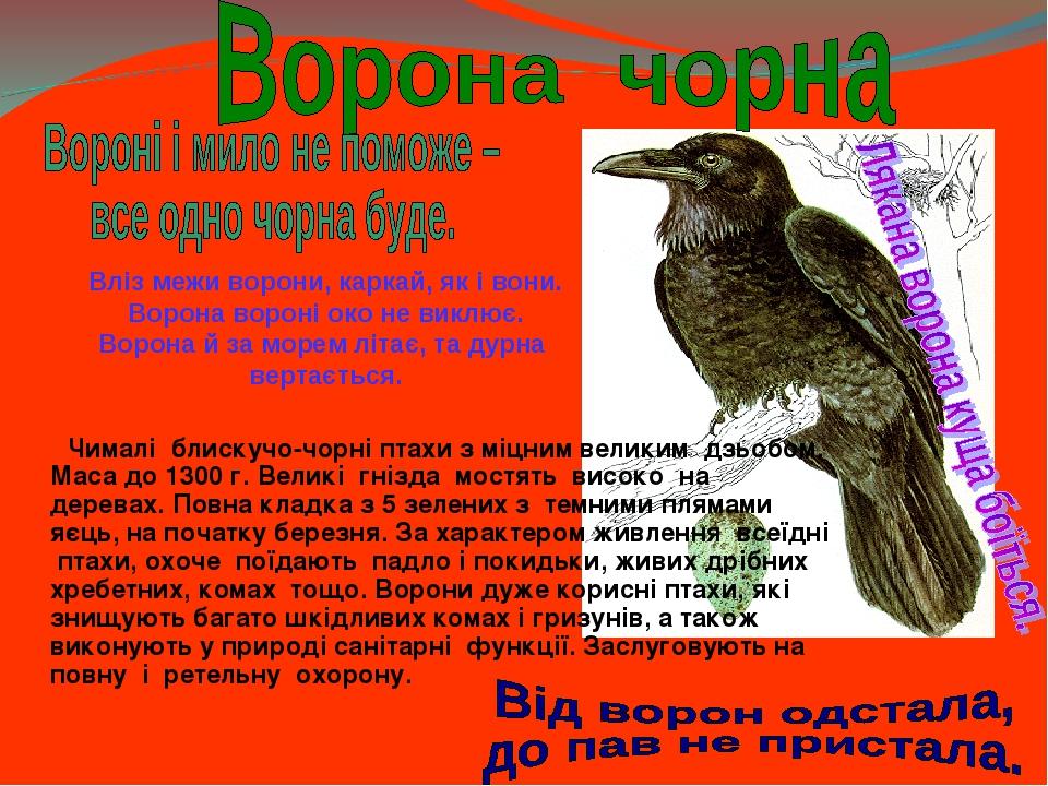 Чималі блискучо-чорні птахи з міцним великим дзьобом. Маса до 1300 г. Великі гнізда мостять високо на деревах. Повна кладка з 5 зелених з темними п...