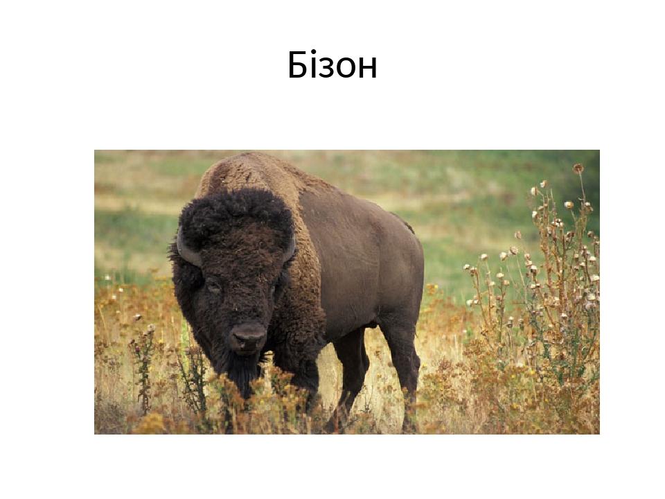 Бізон