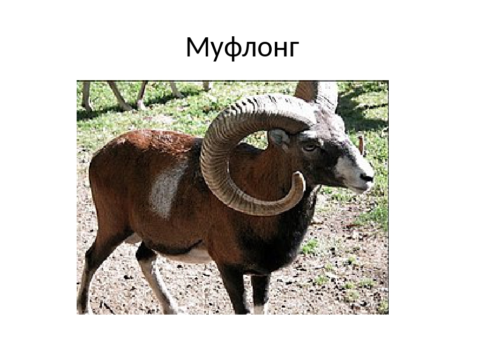 Муфлонг