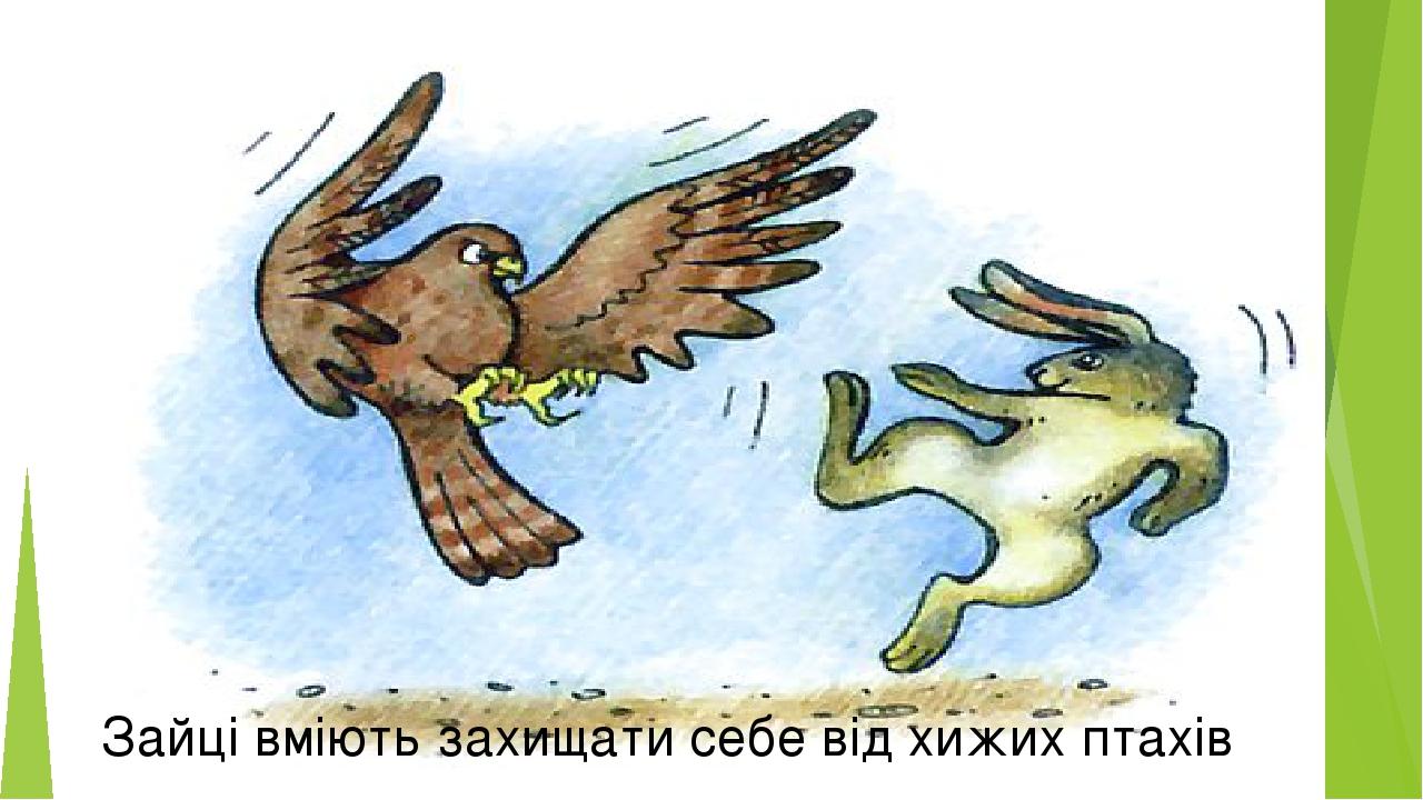 Зайці вміють захищати себе від хижих птахів