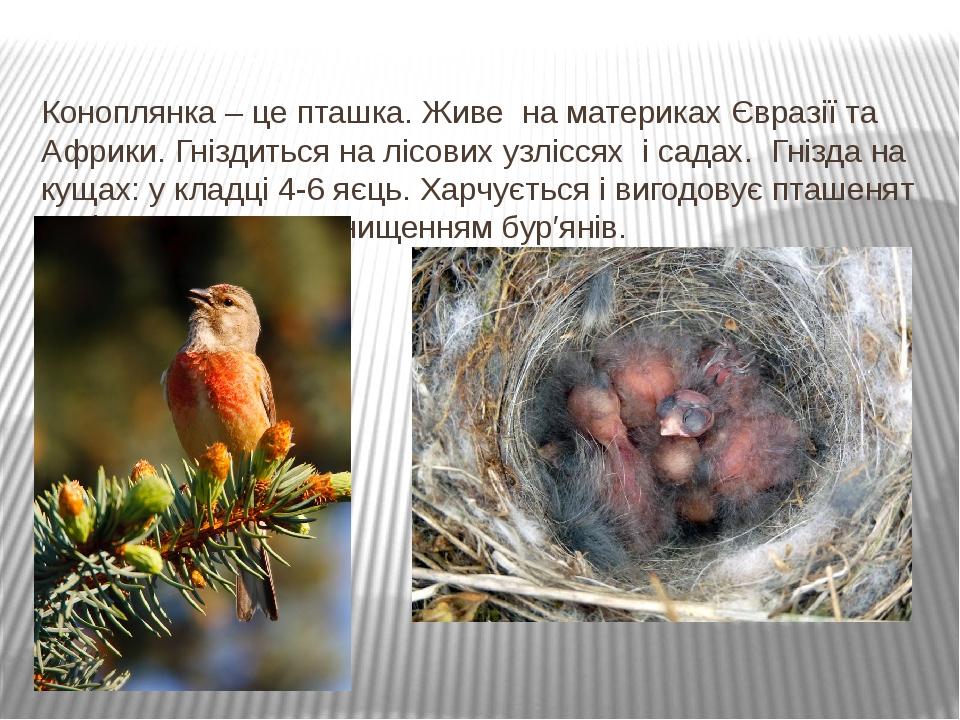 Коноплянка – це пташка. Живе на материках Євразії та Африки. Гніздиться на лісових узліссях і садах. Гнізда на кущах: у кладці 4-6 яєць. Харчується...
