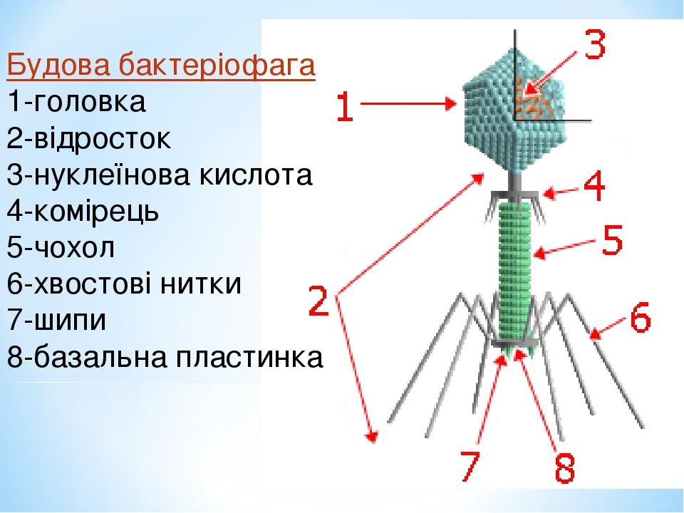 Будова бактеріофага 1-головка 2-відросток 3-нуклеїнова кислота 4-комірець 5-чохол 6-хвостові нитки 7-шипи 8-базальна пластинка