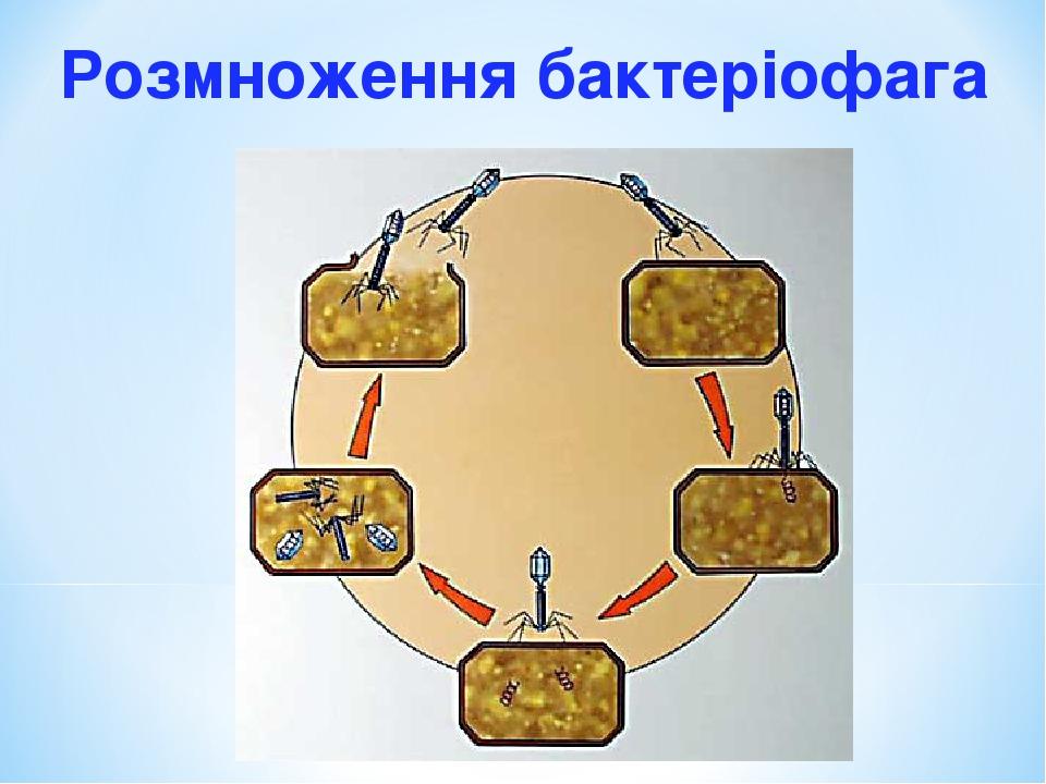 Розмноження бактеріофага