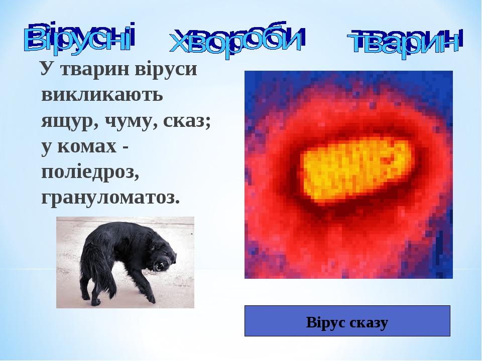 У тварин віруси викликають ящур, чуму, сказ; у комах - поліедроз, грануломатоз. Вірус сказу