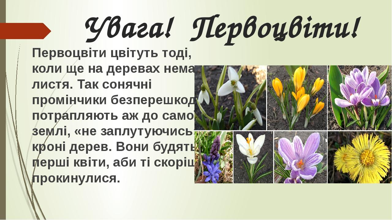 Увага! Первоцвіти! Первоцвіти цвітуть тоді, коли ще на деревах немає листя. Так сонячні промінчики безперешкодно потрапляють аж до самої землі, «не...