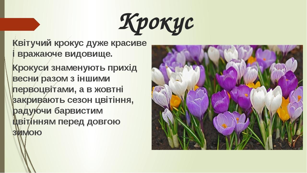 Крокус Квітучий крокус дуже красиве і вражаюче видовище. Крокуси знаменують прихід весни разом з іншими первоцвітами, а в жовтні закривають сезон ц...