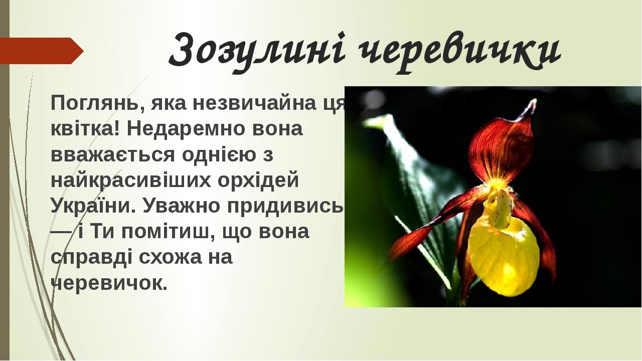 Зозулині черевички Поглянь, яка незвичайна ця квітка! Недаремно вона вважається однією з найкрасивіших орхідей України. Уважно придивись — і Ти пом...