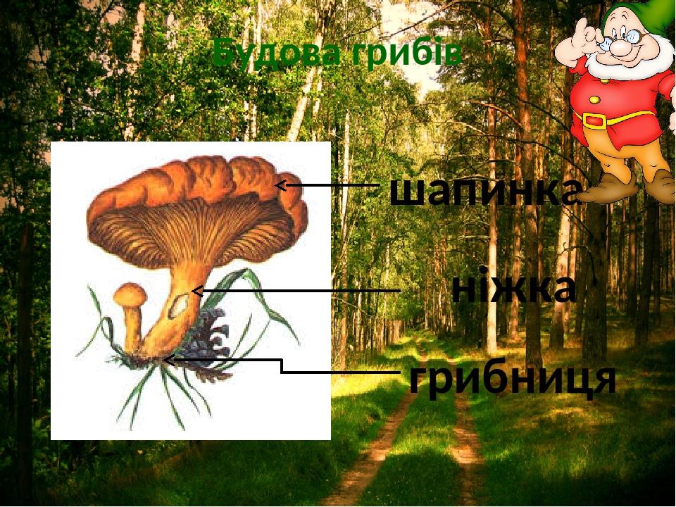 Будова грибів шапинка ніжка грибниця
