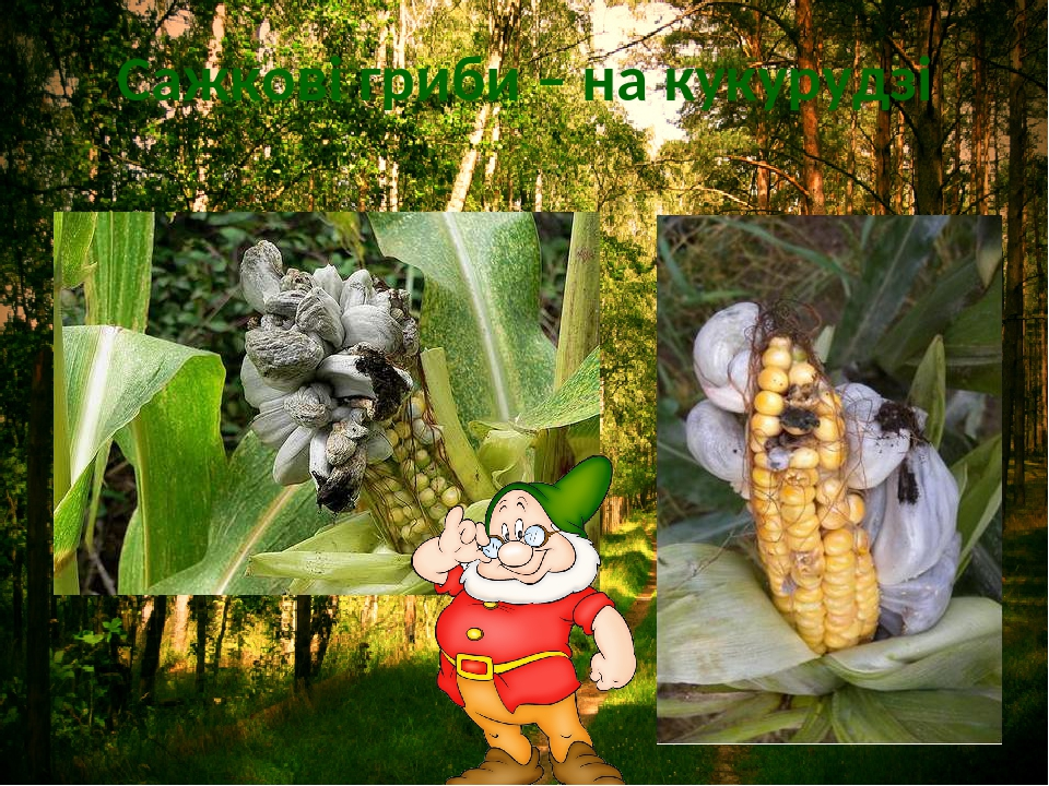 Сажкові гриби – на кукурудзі