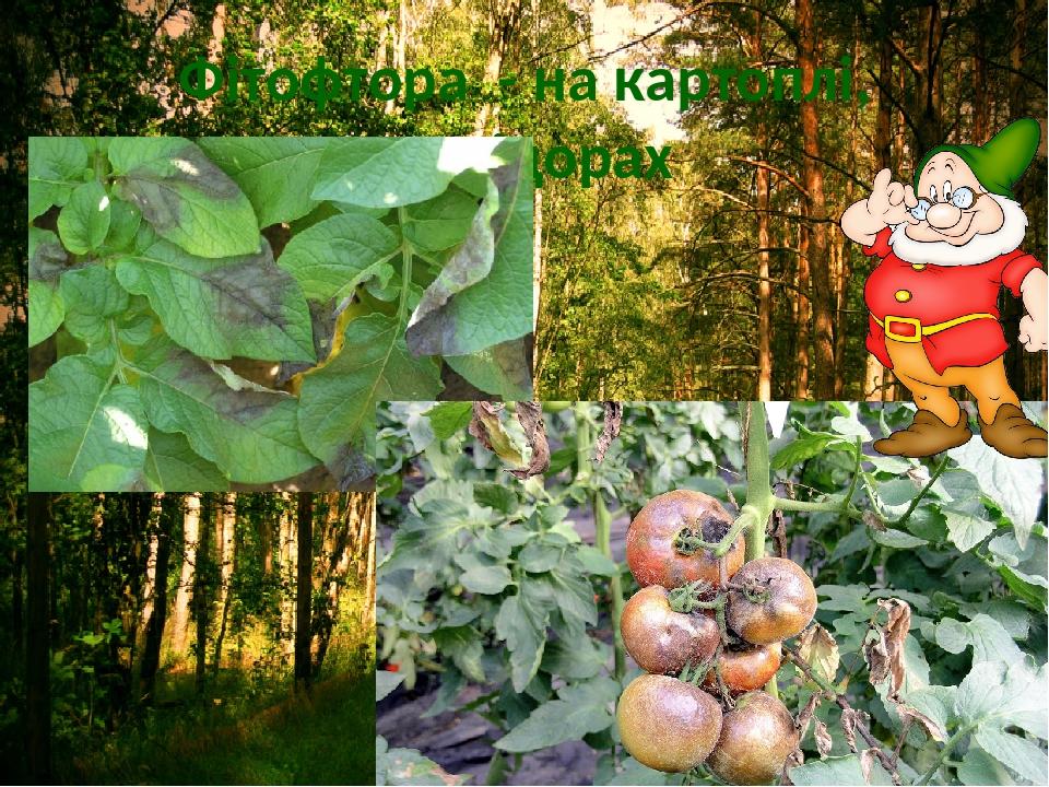 Фітофтора - на картоплі, помідорах