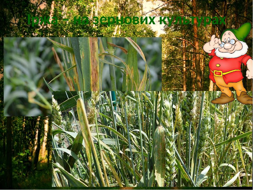 Іржа – на зернових культурах