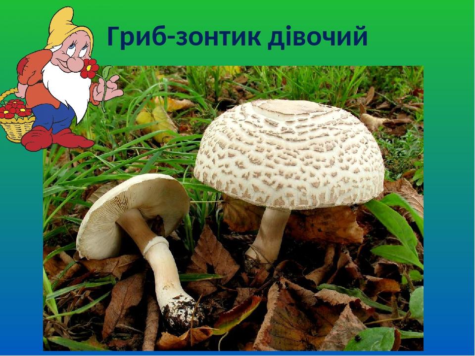 Гриб-зонтик дівочий