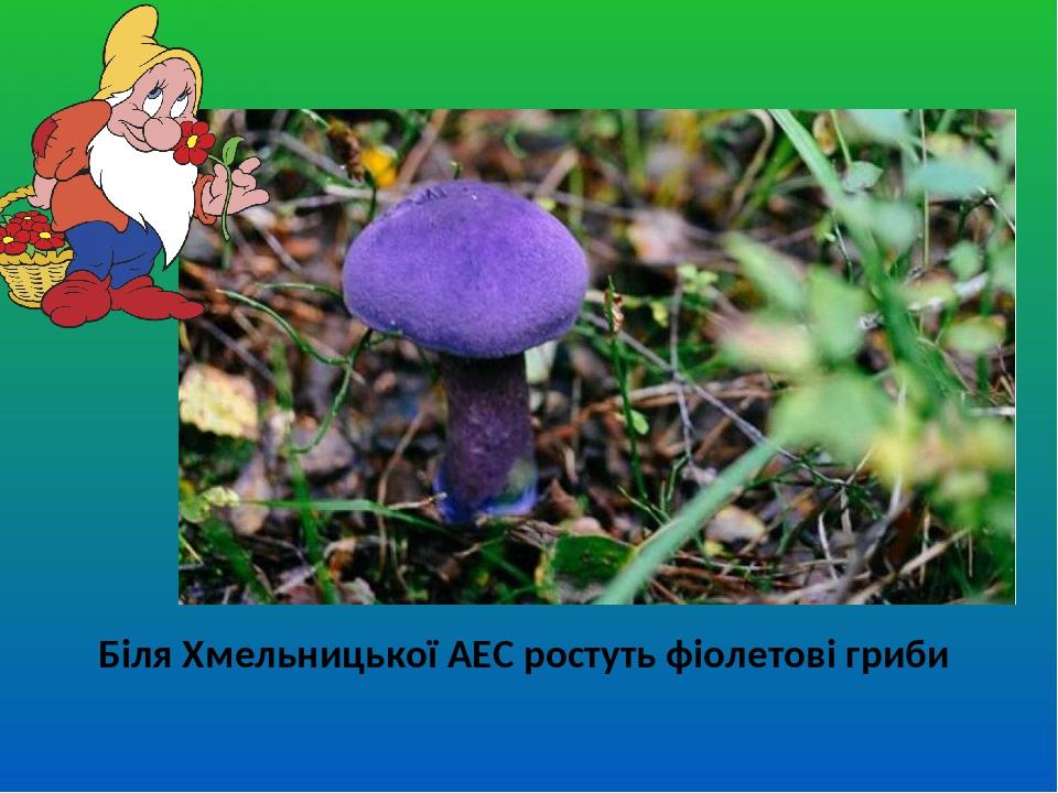 Біля Хмельницької АЕС ростуть фіолетові гриби