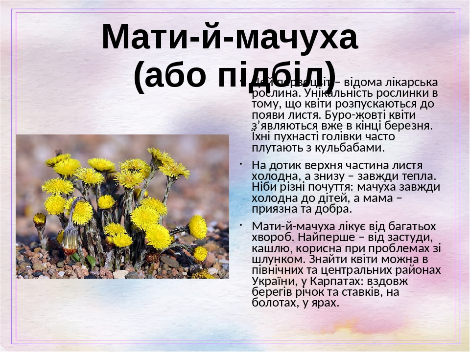 Мати-й-мачуха (або підбіл) Цей первоцвіт – відома лікарська рослина. Унікальність рослинки в тому, що квіти розпускаються до появи листя. Буро-жовт...