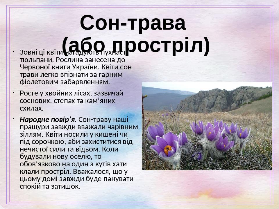 Сон-трава (або простріл) Зовні ці квіти нагадують пухнасті тюльпани. Рослина занесена до Червоної книги України. Квіти сон-трави легко впізнати за ...