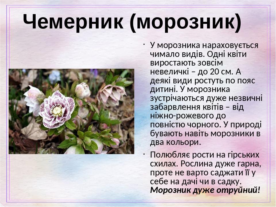 Чемерник (морозник) У морозника нараховується чимало видів. Одні квіти виростають зовсім невеличкі – до 20 см. А деякі види ростуть по пояс дитині....