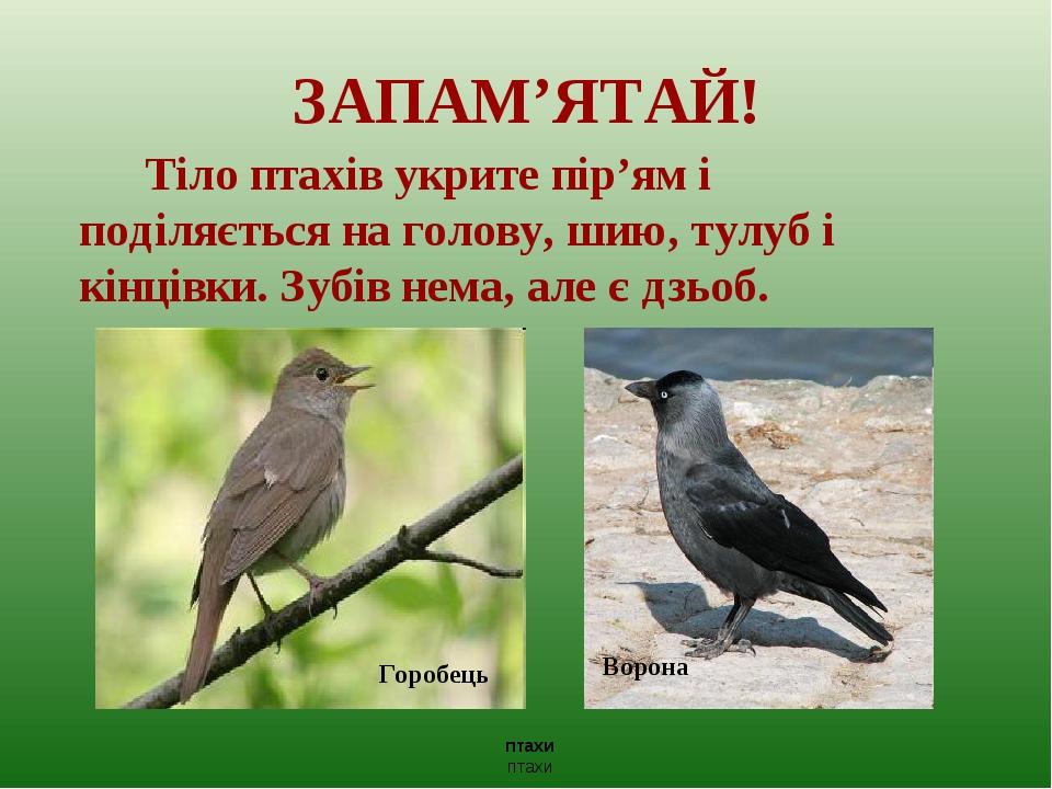 ЗАПАМ'ЯТАЙ! Тіло птахів укрите пір'ям і поділяється на голову, шию, тулуб і кінцівки. Зубів нема, але є дзьоб. птахи птахи Горобець Ворона