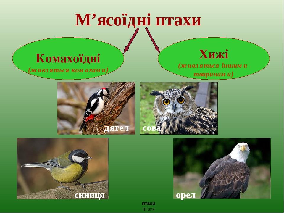 М'ясоїдні птахи сова орел птахи птахи Комахоїдні (живляться комахами) Хижі (живляться іншими тваринами) дятел синиця
