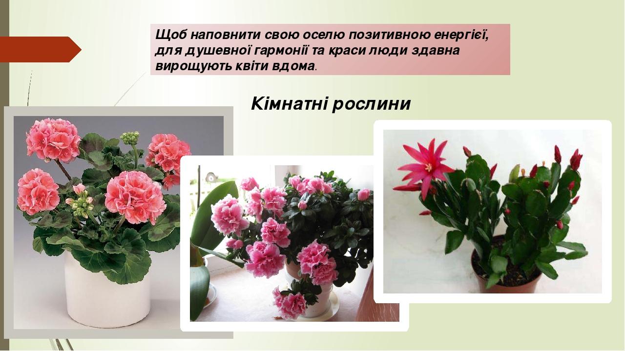 Щоб наповнити свою оселю позитивною енергієї, для душевної гармонії та краси люди здавна вирощують квіти вдома. Кімнатні рослини