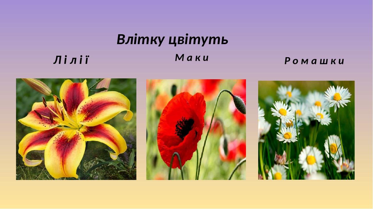 Л і л і ї М а к и Р о м а ш к и Влітку цвітуть