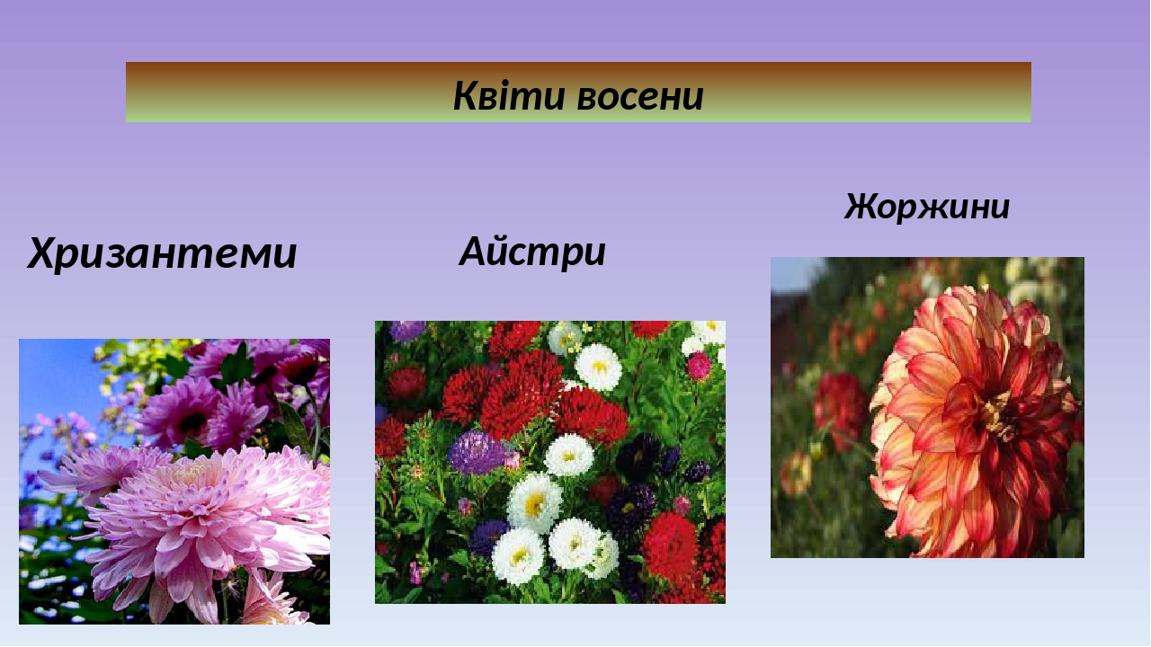 Квіти восени Хризантеми Айстри Жоржини