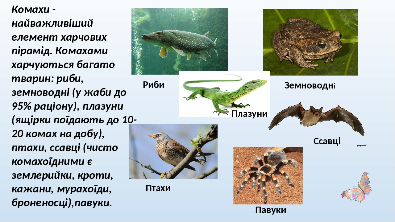 Комахи - найважливіший елемент харчових пірамід. Комахами харчуються багато тварин: риби, земноводні (у жаби до 95% раціону), плазуни (ящірки поїда...