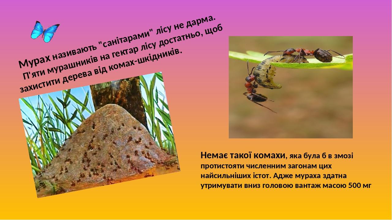 """Мурах називають """"санітарами"""" лісу не дарма. П'яти мурашників на гектар лісу достатньо, щоб захистити дерева від комах-шкідників. Немає такої комахи..."""