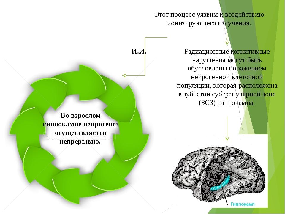 Во взрослом гиппокампе нейрогенез осуществляется непрерывно. Этот процесс уязвим к воздействию ионизирующего излучения. И.И. Радиационные когнитив...
