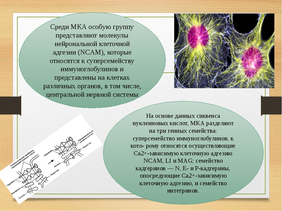 Среди МКА особую группу представляют молекулы нейрональной клеточной адгезии (NCAM), которые относятся к суперсемейству иммуноглобулинов и представ...