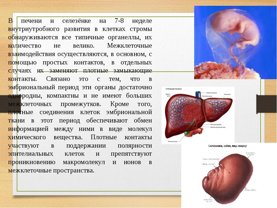В печени и селезёнке на 7-8 неделе внутриутробного развития в клетках стромы обнаруживаются все типичные органеллы, их количество не велико. Межкле...