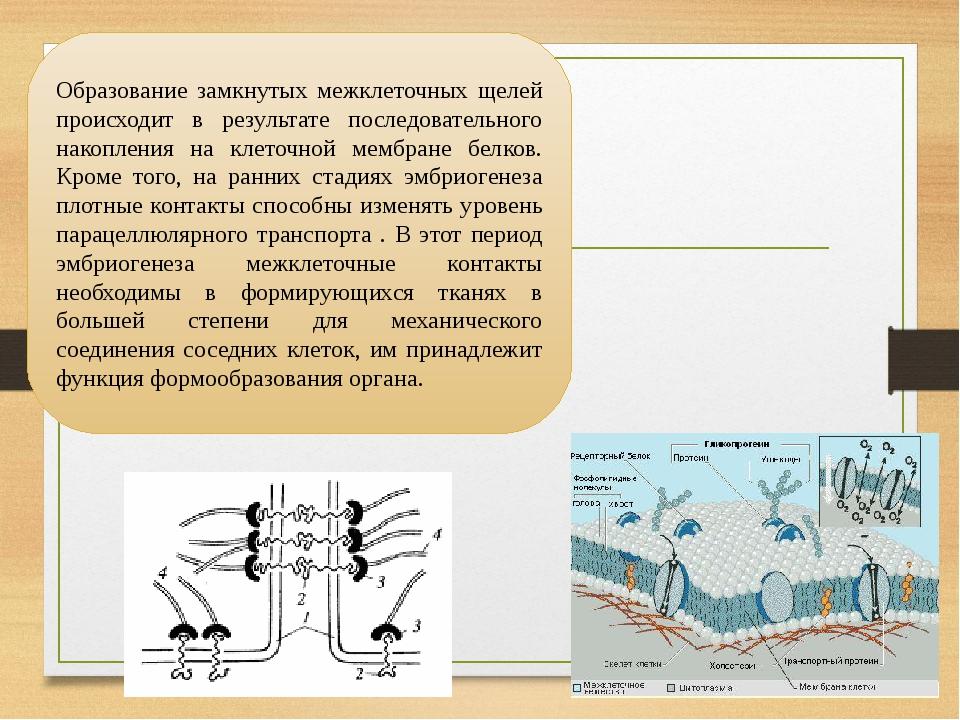 Образование замкнутых межклеточных щелей происходит в результате последовательного накопления на клеточной мембране белков. Кроме того, на ранних с...