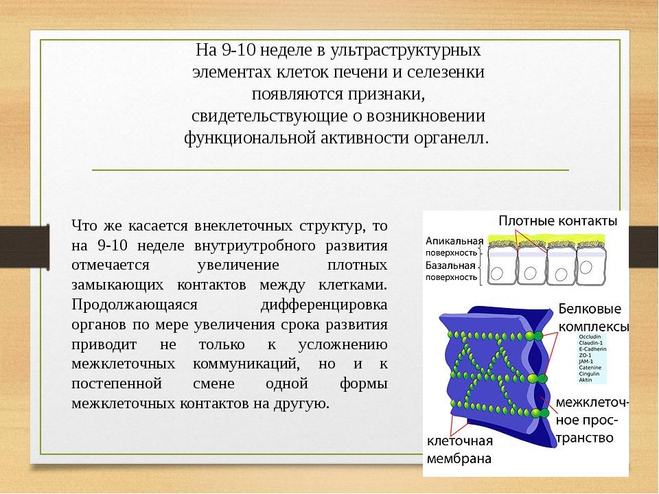 На 9-10 неделе в ультраструктурных элементах клеток печени и селезенки появляются признаки, свидетельствующие о возникновении функциональной активн...
