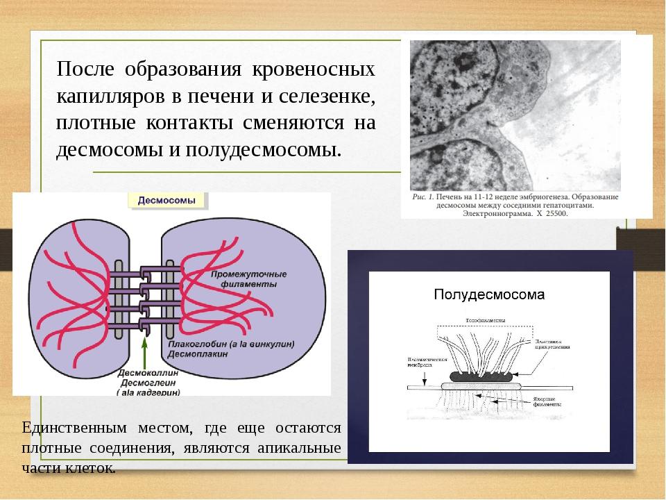 После образования кровеносных капилляров в печени и селезенке, плотные контакты сменяются на десмосомы и полудесмосомы. Единственным местом, где ещ...